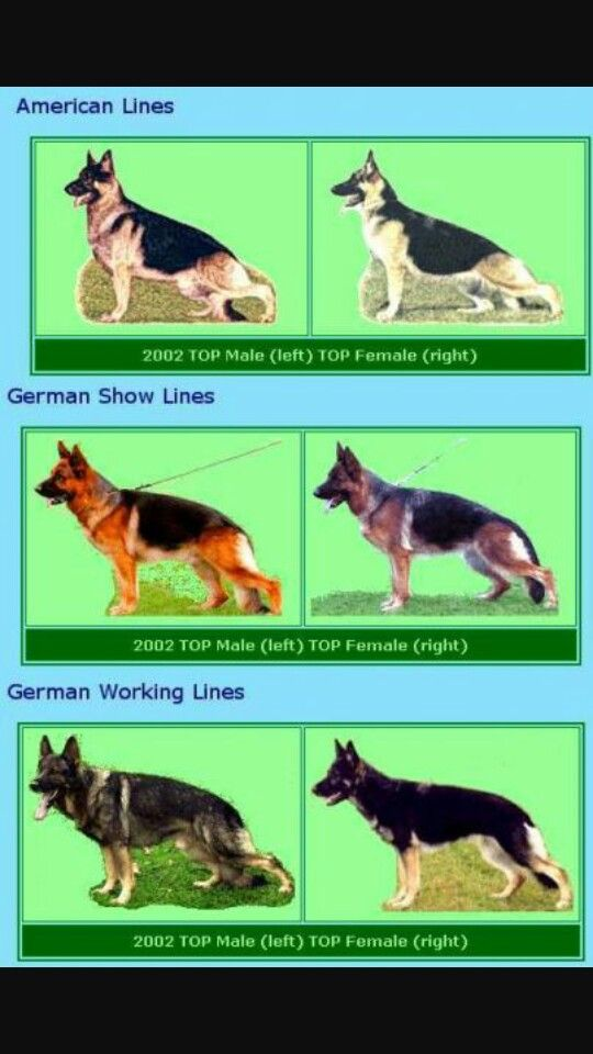 Gsd Types German Shepherd Dogs German Shepherd Colors German