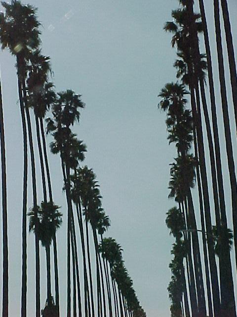 Los Angeles Palm Trees Street