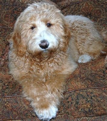 Goldendoodle Association Of North America All About Goldendoodle