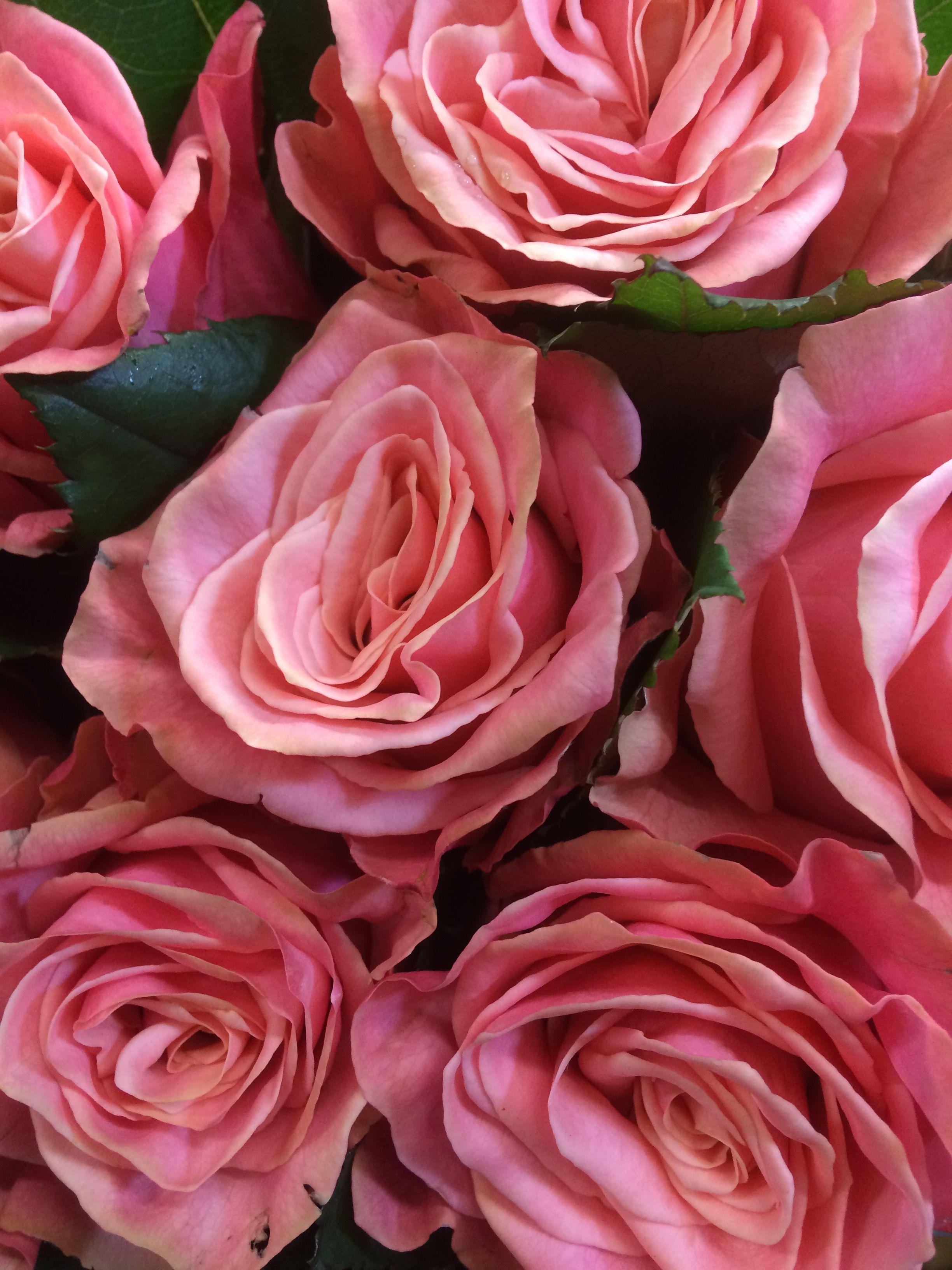 Coral Pink Adele Rose