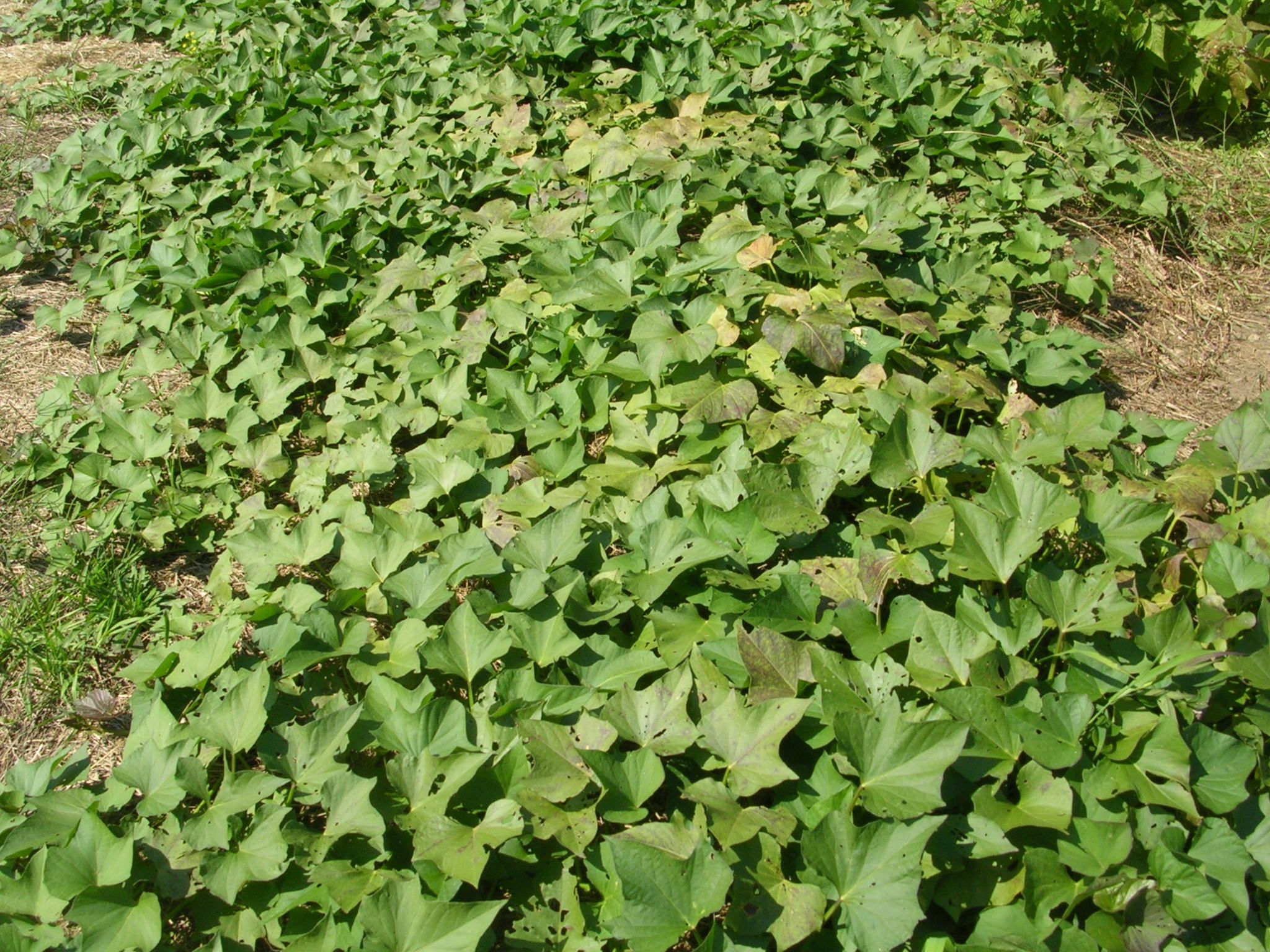 ...  sweet potatoes are somewhat drought tolerant, keep the young plants well watered until they're established.
