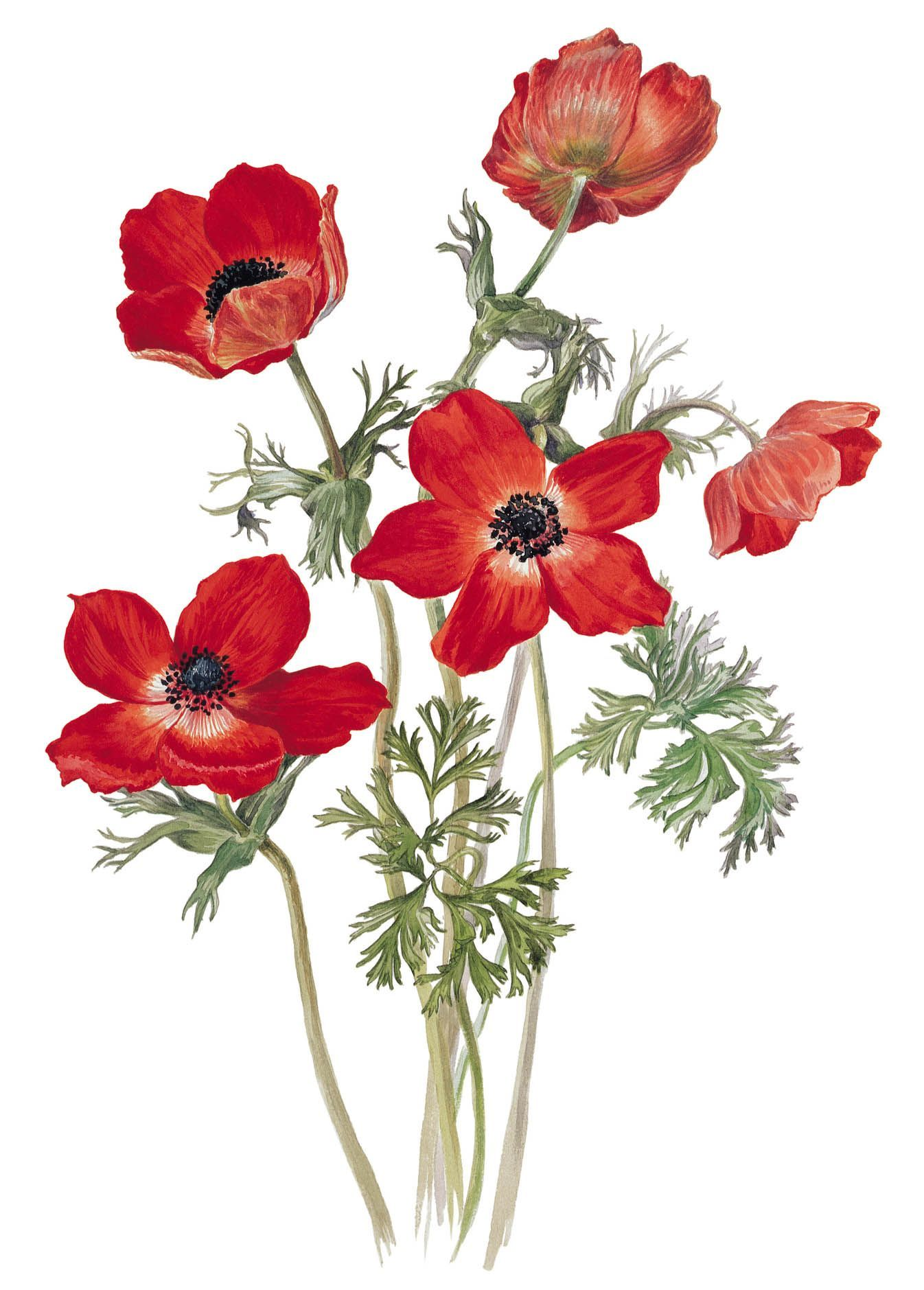 A Drawing Of The Poppy Anemone Anemone Coronaria Var Phoenicia By Edward Augustus Bowles Floral Wall Art Canvases Flower Art