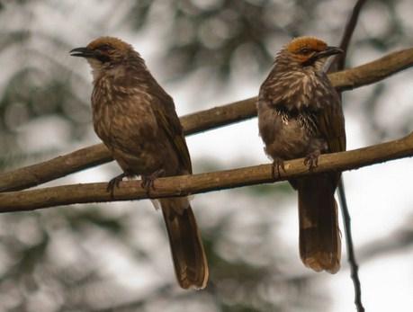 Suara Cucak Rawa Untuk Sekelas Burung Yang Bernama Latin Ilmiah Pycnonotus Zeylanicus Ini Memang Bisa Dibilang Sangat Spesial Selain Penampilan Dan Ukuran