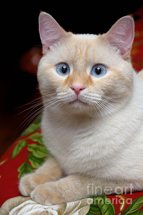 Flame Point Siamese Cat Cute Cats Kittens Siamese Cats Cats