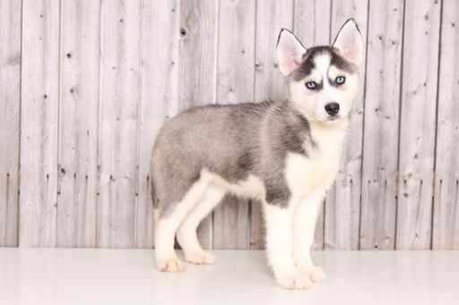 Siberian Husky Puppy For Sale In Mount Vernon Oh Adn 31660 On