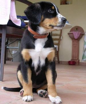 Pin By Pat On Me Entlebucher Mountain Dog Dog Breeds Mountain Dogs