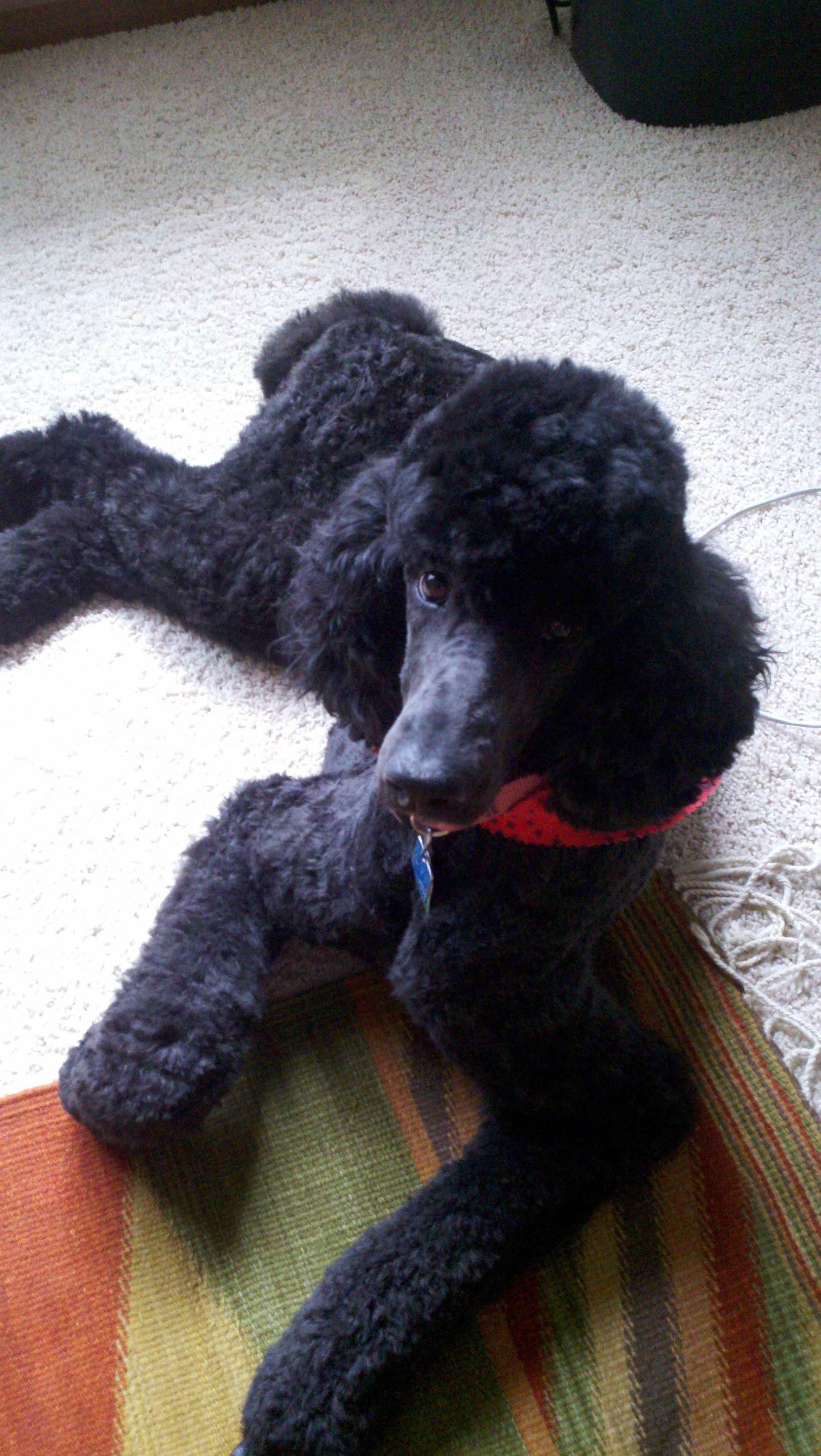 The many things we admire about the Active Poodle Dogs #poodlepup #tinypoodle #s... - #about #active #admire #Dogs #poodle #poodlepup #things #tinypoodle
