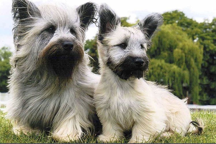 Skye Terrier Puppy For Sale Cairn Terrier Puppies Skye Terrier