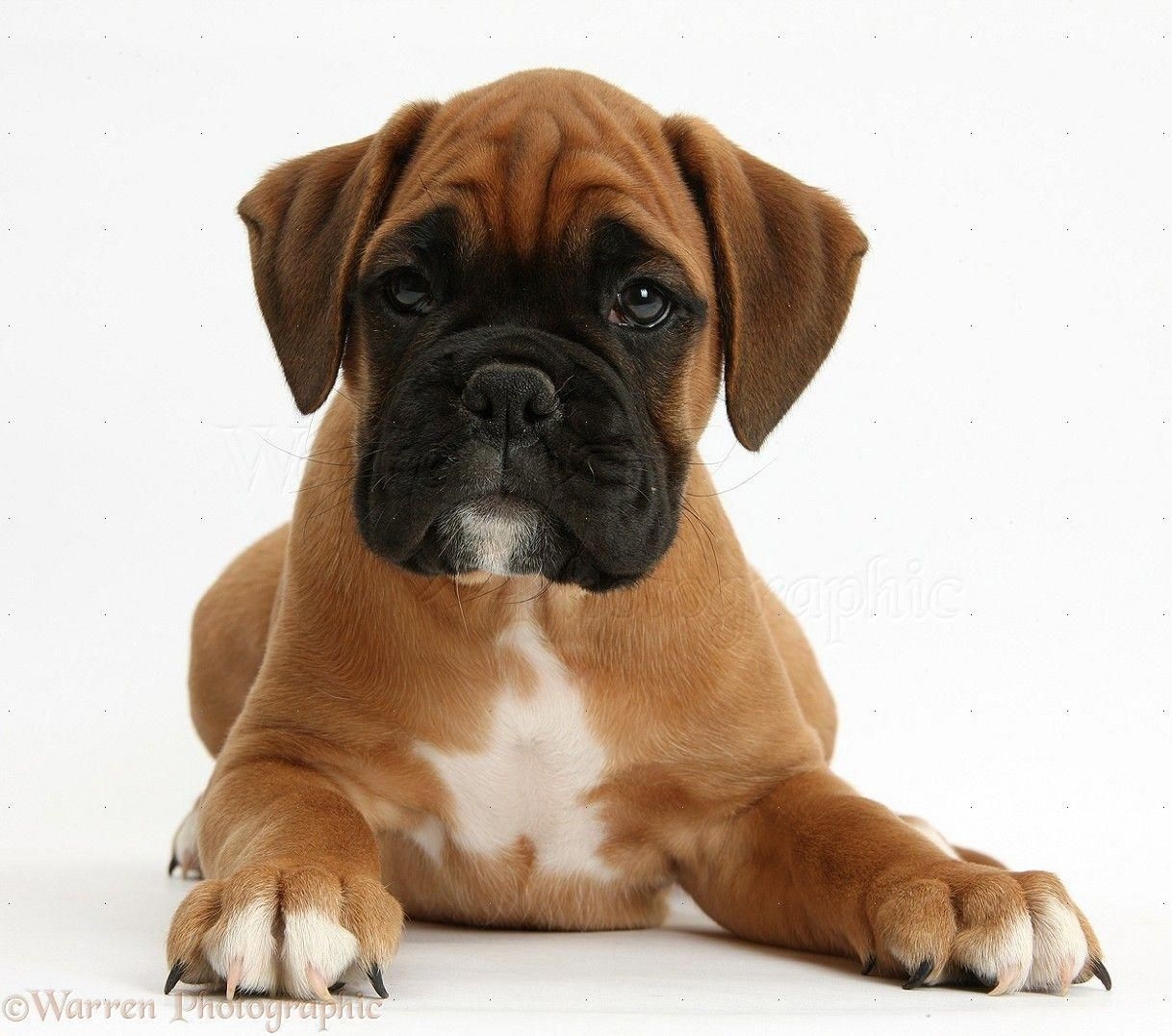 Rocket Boxer Puppies Week8 awwww look at the boxer