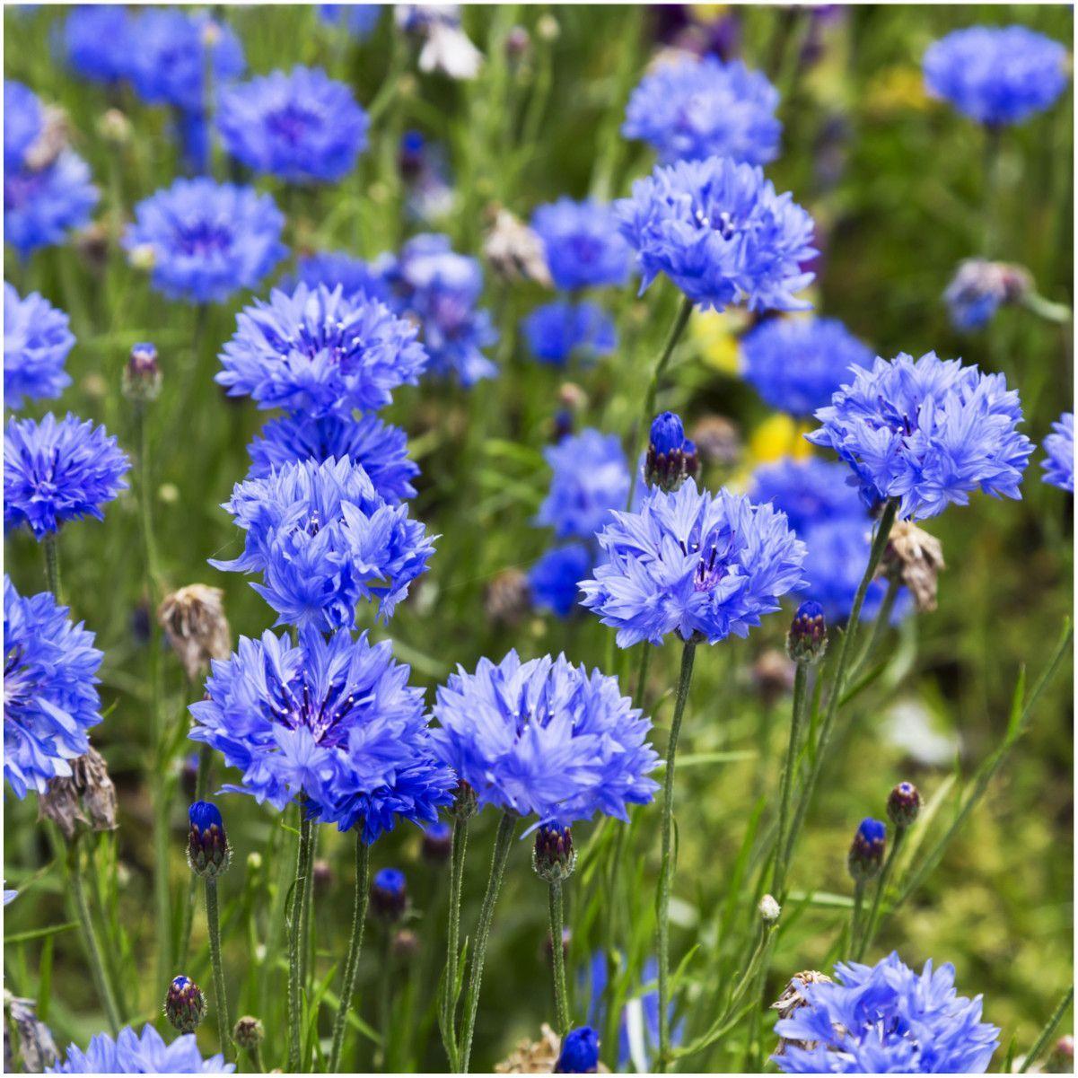Dwarf Blue Cornflower Seeds Centaurea Cyanus Flower Seeds Annual Flowers Cornflower