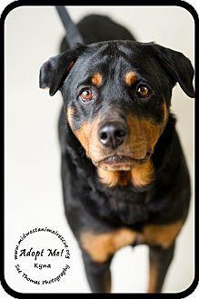 Minneapolis Mn Rottweiler Meet Kyna Foster Needed A Dog For