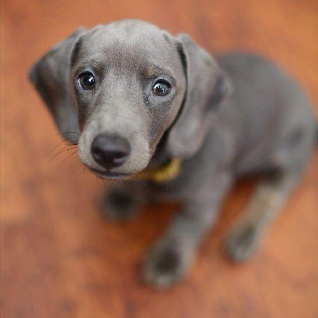 Grey Lab Weinmareinar And Lab Mix Puppy Dog Eyes Cute Animals