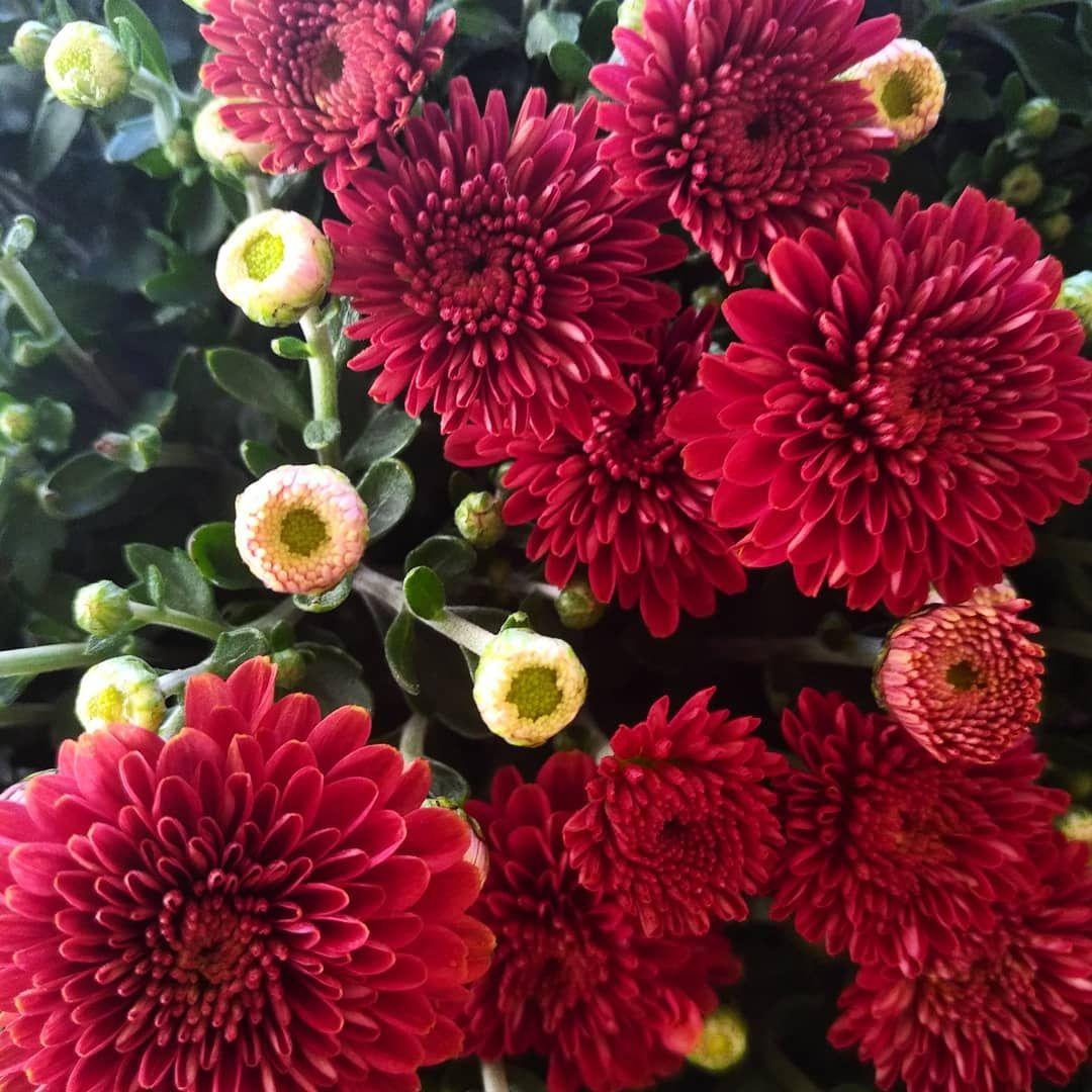 Mums Or Dalias Flowers Mums Dalias Plant Kingdom Angiosperma Angiosperms Angiospermata Angiocarps Flower Flowering Pl Fall Flowers Plants Flowers