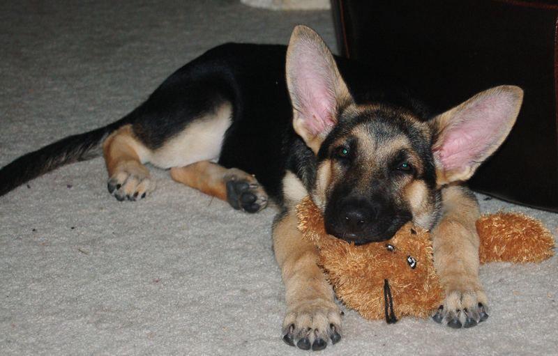 Hilarious Example Of The Radar Ears That German Shepherds Often