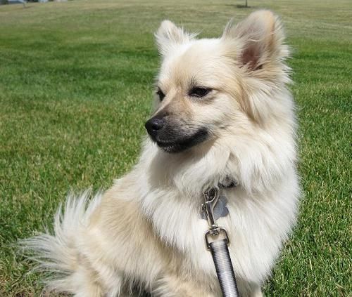 Pomeranian mix | animals and insects | Pinterest ...