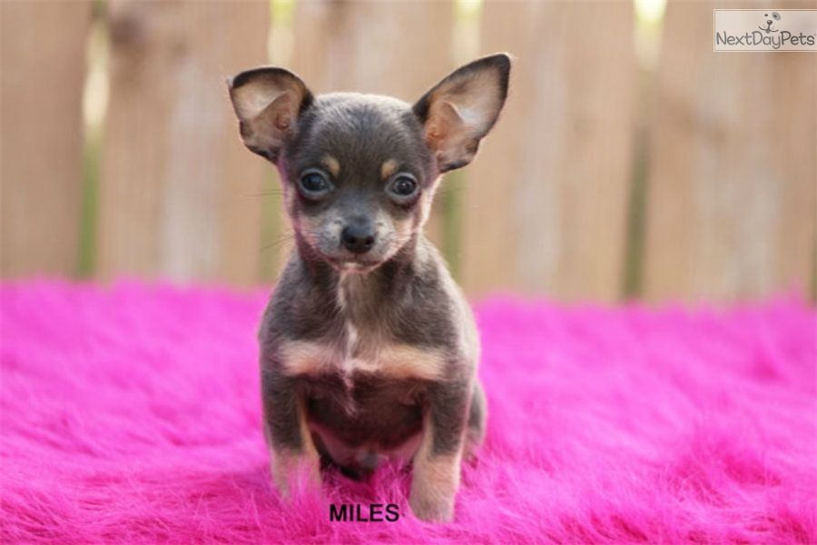 Chihuahua Puppy For Sale Near Mcallen Edinburg Texas 2a1116b4