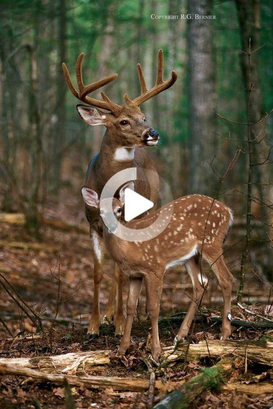 Early spring is the time to find where deer already want to travel. What's On Yo..., #deer #Early #Find #Spring #time #travel #Whats #weirdanimals #animalsactivities
