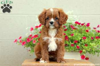 Cooper Cavapoo Puppy For Sale From Leola Pa Cavapoo Puppies For Sale Cavapoo Puppies Puppies For Sale
