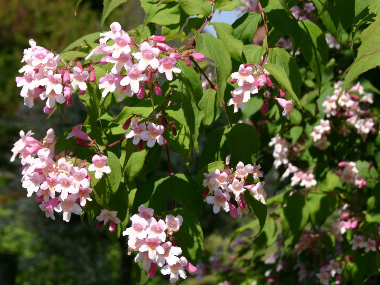 perlmuttstrauch kolkwitzie kolkwitzia amabilis flower wishlist pinterest str ucher. Black Bedroom Furniture Sets. Home Design Ideas