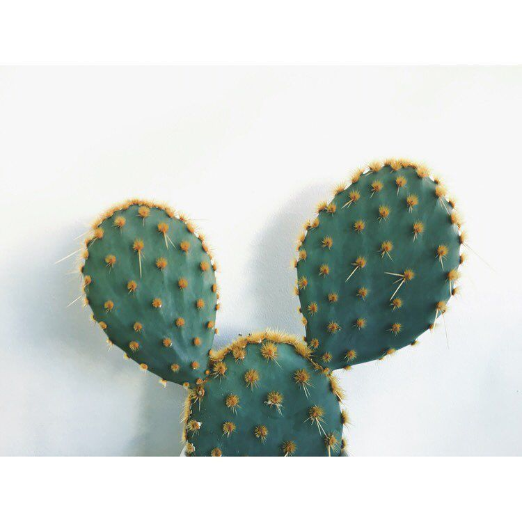 - • B U N N Y  E A R •  Opuntia ssp.  This one may look cute but it's spines have barbed tips which can prove to be quite painful