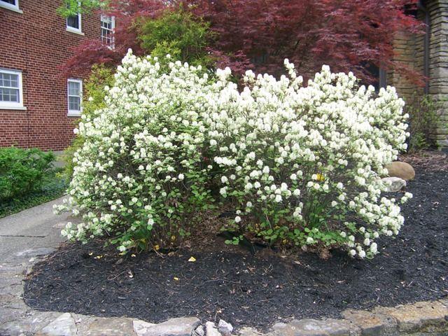 picture of fothergilla gardenii dwarf fothergilla