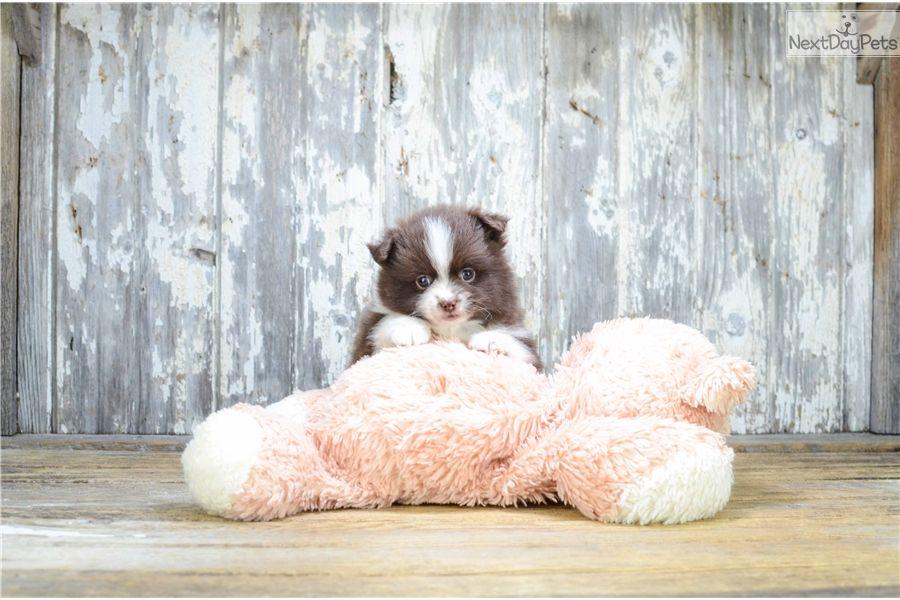Pomeranian Puppy For Sale Near Columbus Ohio 7293ca22 7621