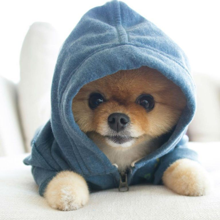 Jiff the Pomeranian is a Cute Little Dude With a Very Particular Set of Skills
