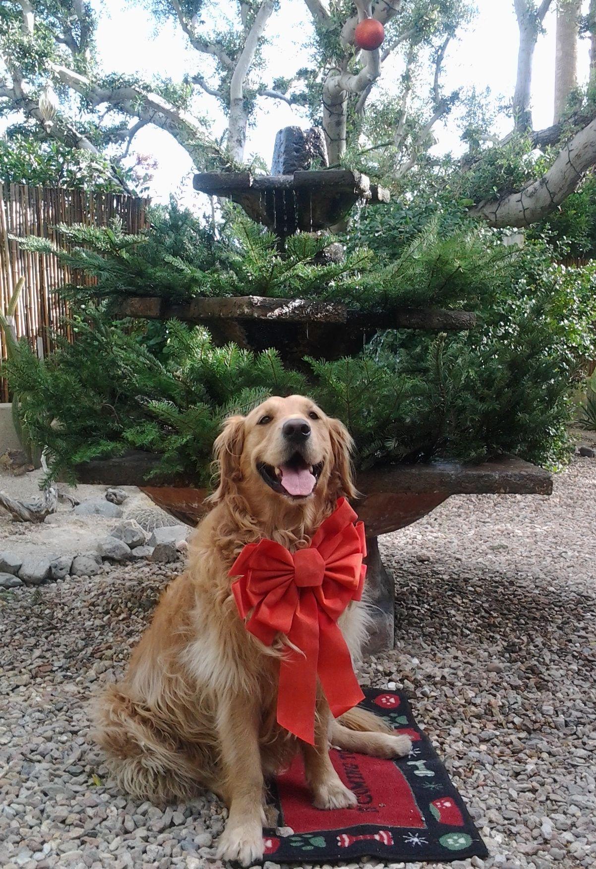 Morgan and his Christmas bow Golden Retrievers