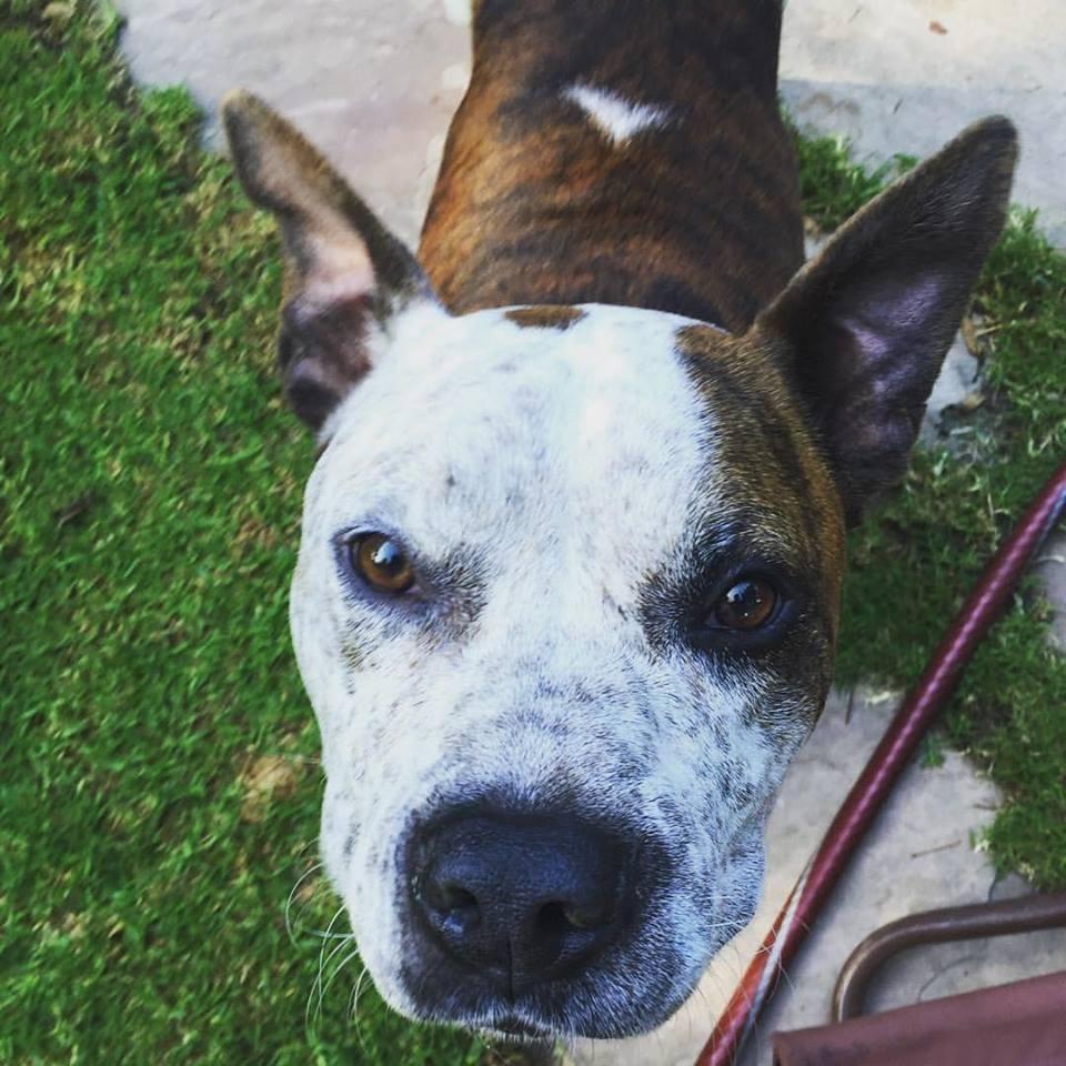 Bullboxer Pit dog for Adoption in Santa Monica, CA. ADN