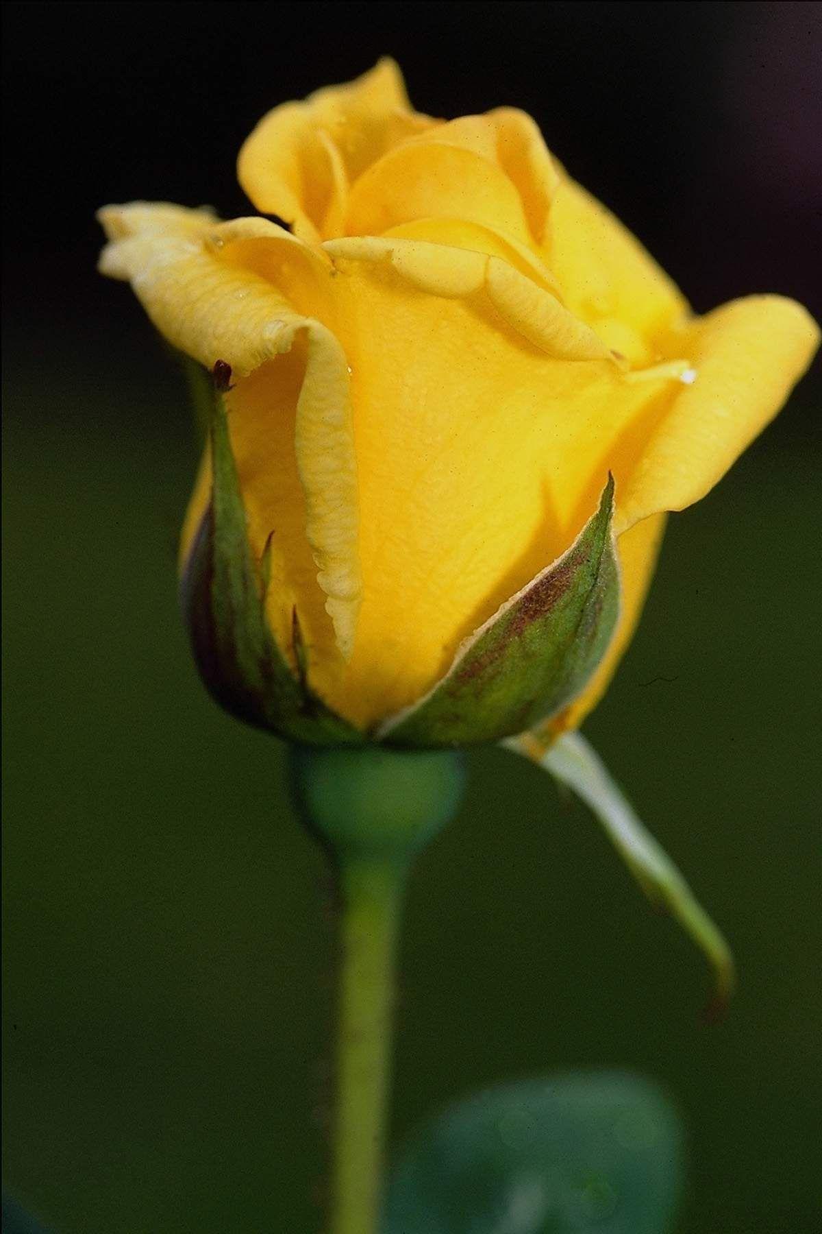 Hd wallpaper yellow rose - Yellow Rose
