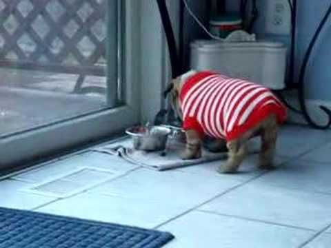English Bulldog Puppy Has Temper Tantrum Over New Sweater It May