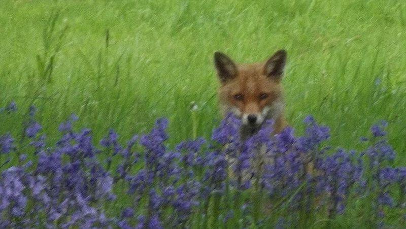 Fox in bluebells
