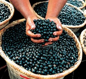Acai Wears the Crown of the Superfoods