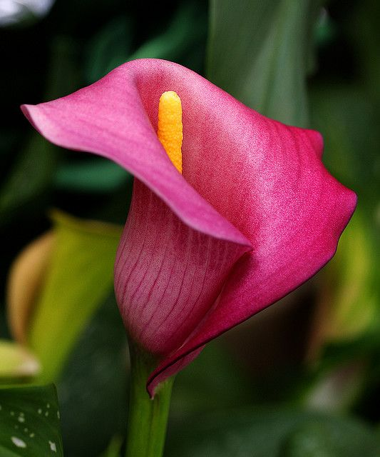 Magenta Or Pink Calla Lily 1 Calla Lily Flowers Red Lily Flower Calla Lily