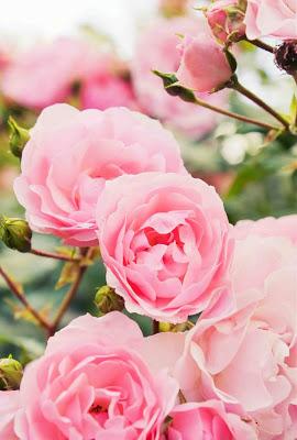 اجمل صور ورد روز جميل اوى Transplanting Roses Rose Care Rose Bush