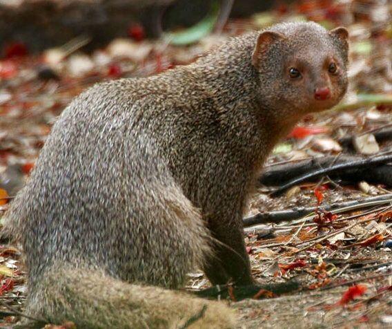 Indian Grey Mongoose | Meerkat, Animals, Mongoose