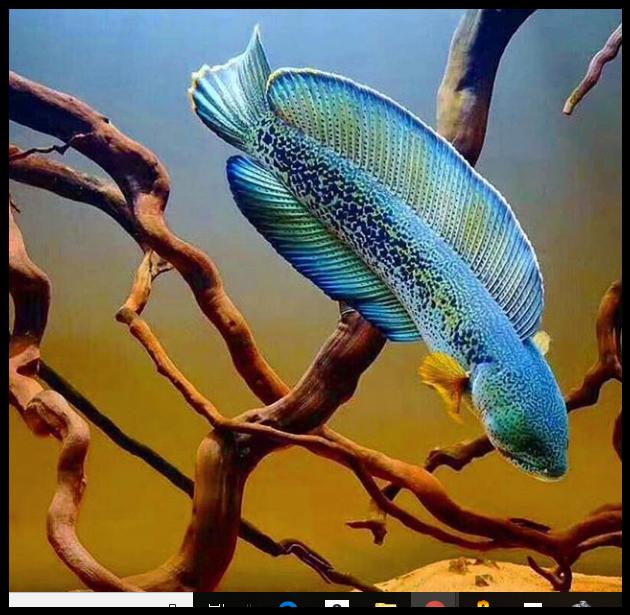 Barca Snakehead Ikan Akuarium Hewan Ikan Cupang