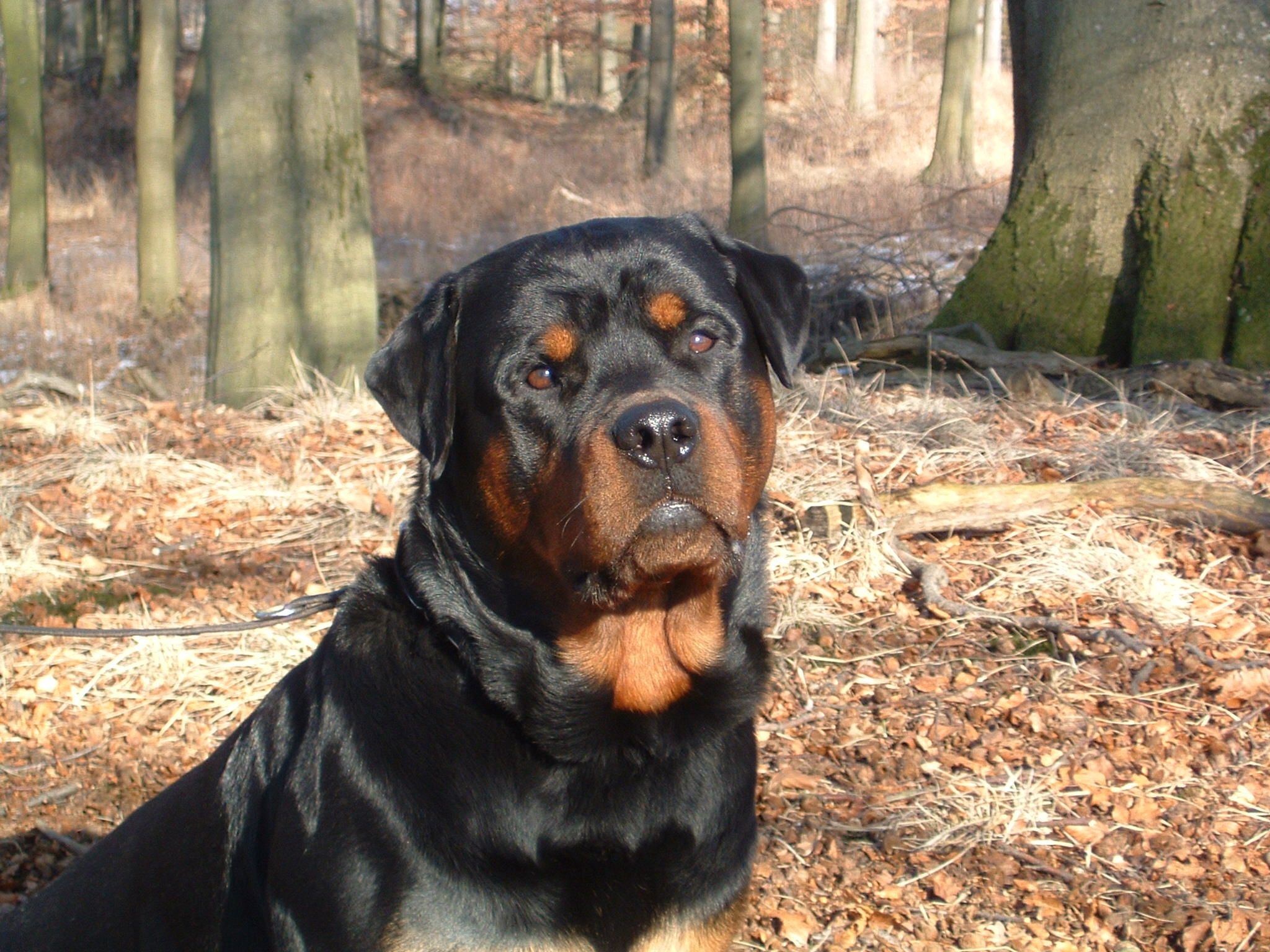 Big Rottweiler With Images Rottweiler Rottie Animals