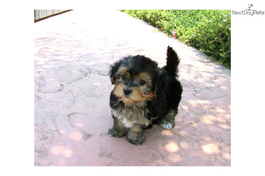 My Morkie Puppy Zahid Pets Puppies Animals