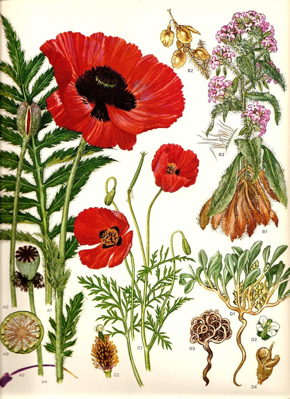 Vintage 1970 RED POPPY Color Art Print Wild Flowers Original Book PLATE 45 Beautiful Oriental Polly Rose Jericho Spring Summer Plants. $7.00, via Etsy.