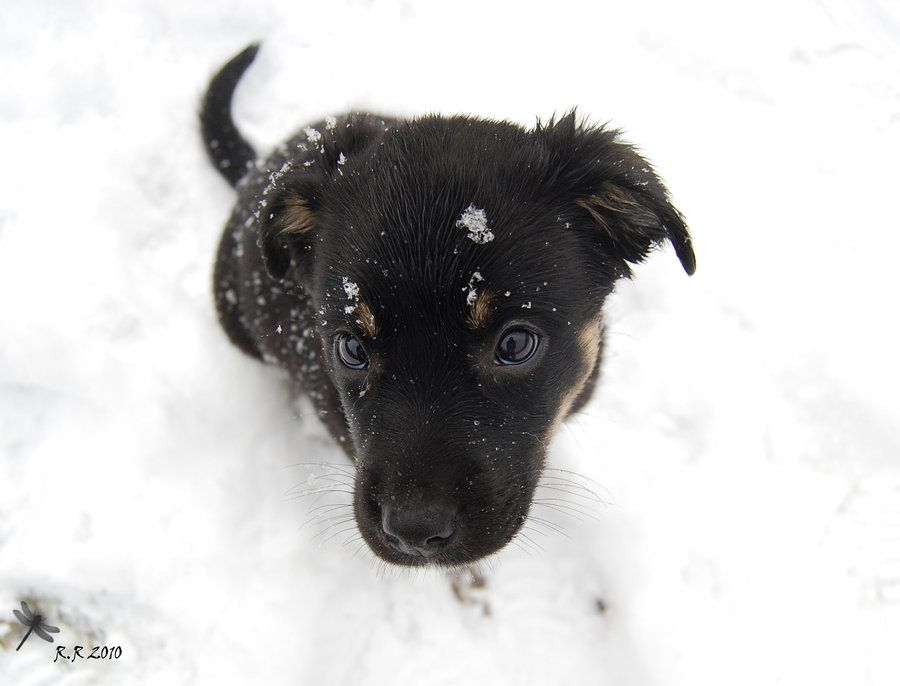 Black Lab Australian Shepherd Mix Cute Baby Aussiedor