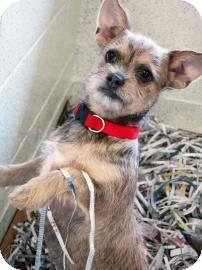 Atlanta Ga Shih Tzu Chihuahua Mix Meet Sheena A Puppy For