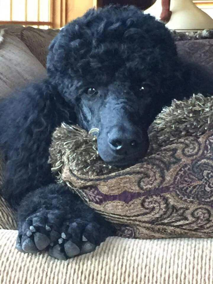 Things We All Enjoy About The Active Poodle Pups Poodleterrier