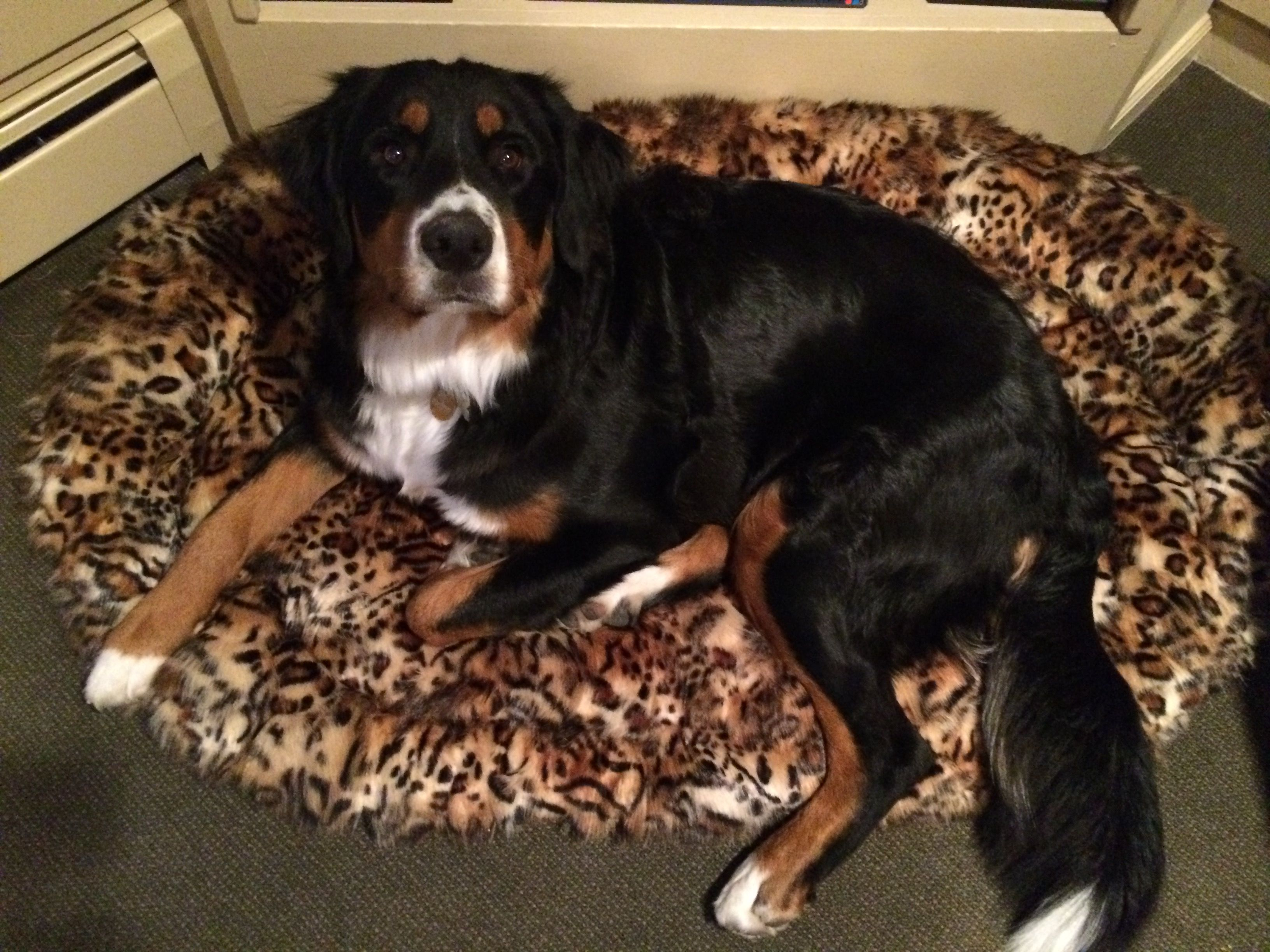 Bernese Mountain Dog on our new custom-made Nike Lounger. Contact Elaine at info@thepuppyhugger.com & order one for your dog!