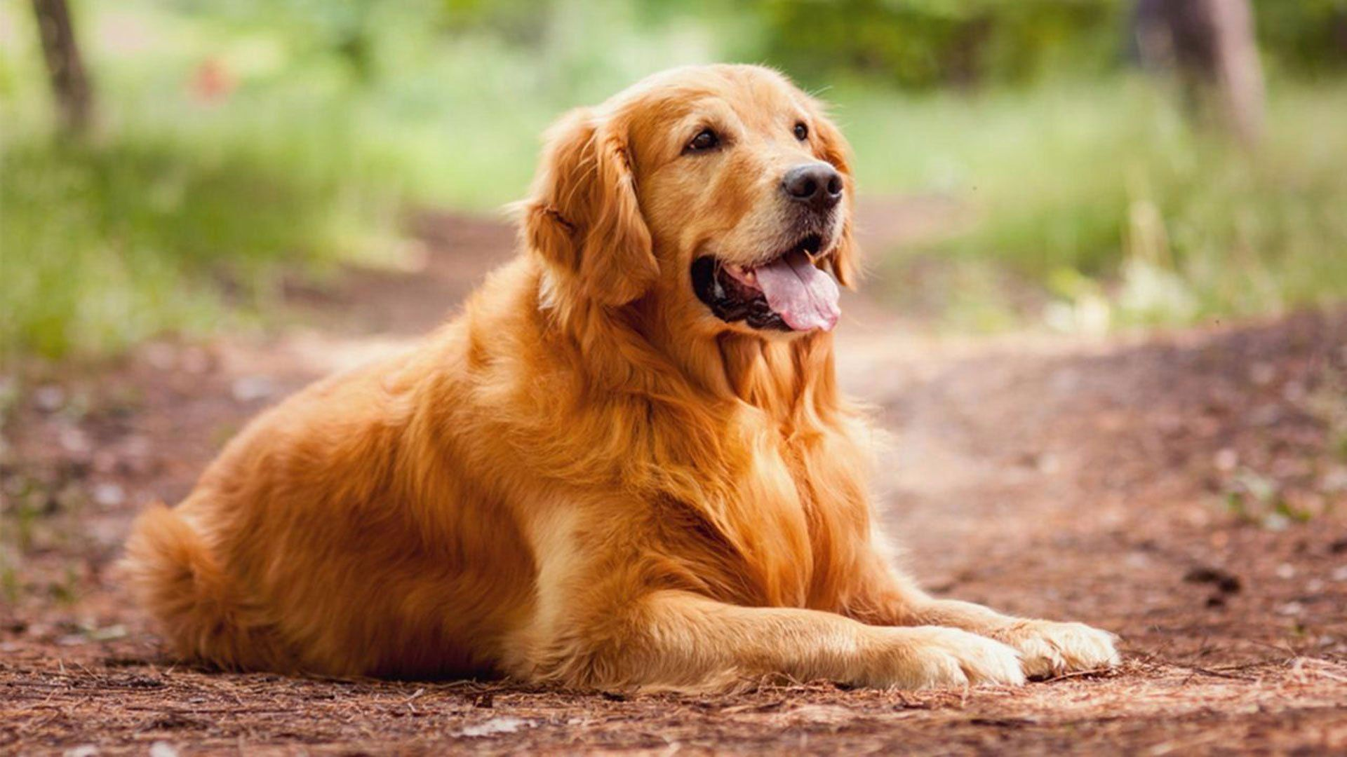 The Golden Retriever An Intelligent Worker And A Patient Family
