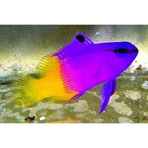 Royal Gramma Gramma Loreto Also Known As The Fairy Basslet Is A Species Of Basslet Native To Ree Saltwater Aquarium Fish Reef Safe Fish Saltwater Fish Tanks