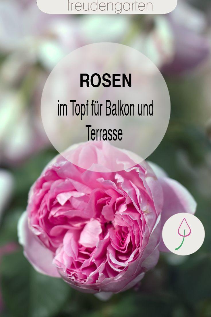 Rosen Im Pflanzkubel Richtig Pflegen Dungen Uberwintern Und