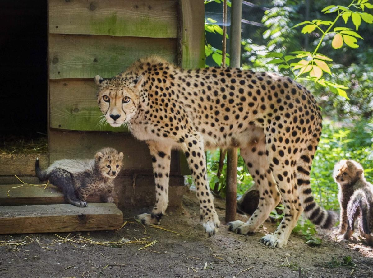 Tuplet Cheetah Cubs And Their Mom
