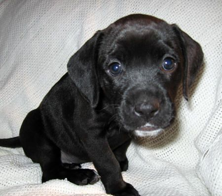Little Boxer / Lab mix puppy... Yes please... Only a few