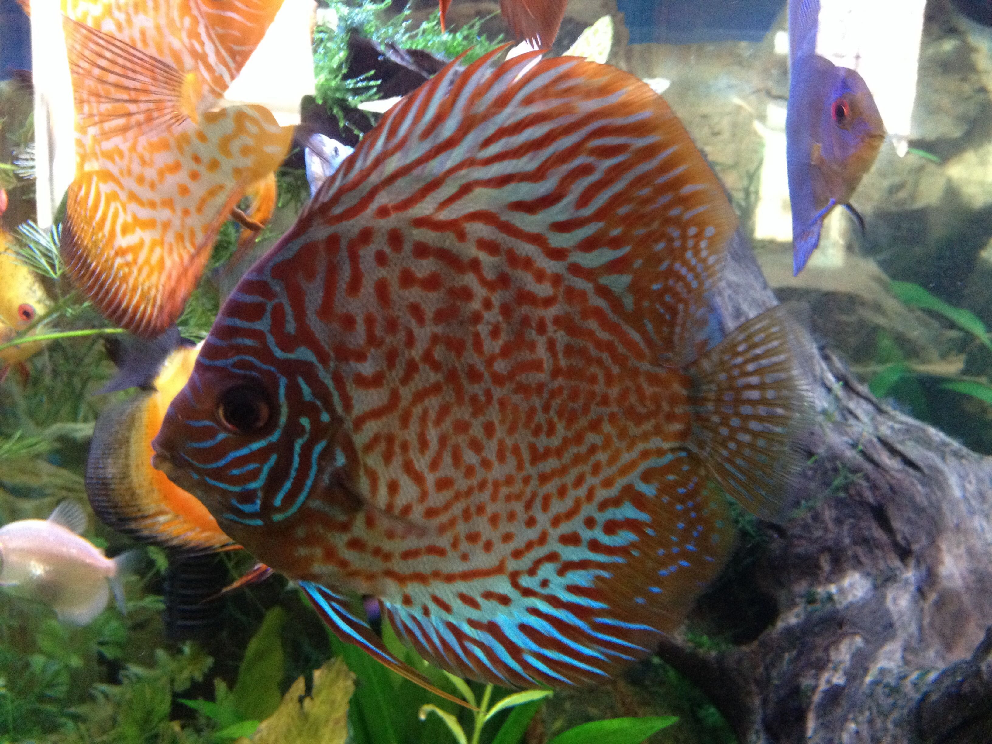 Walter s Discus Fish tank Pinterest